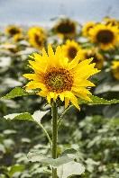Sun_flower_3-et1