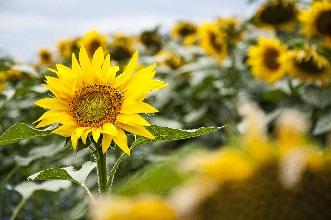 Sun_flower_4-et2