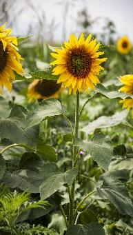 Sun_flower_proiect